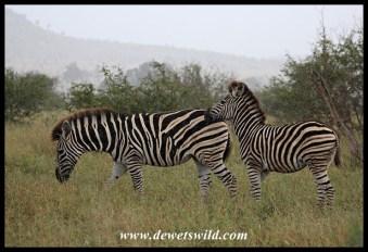 Plains Zebras caught in rainstorm