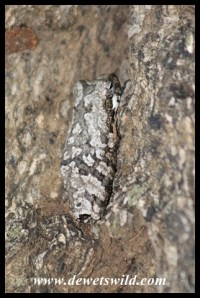 Well camouflaged Foam Nest Frog