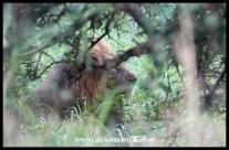 Lion hiding from the rain