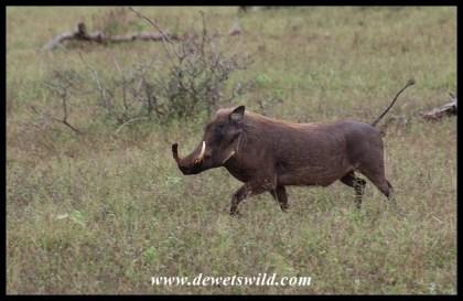 Big warthog boar