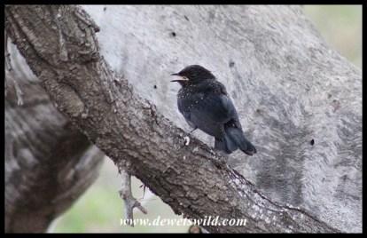 Fledgling Southern Black Flycatcher