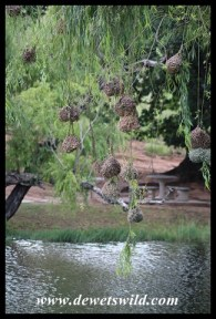 Southern Masked Weaver nests