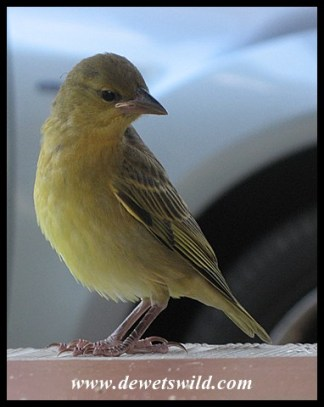 Southern Masked Weaver fledgling