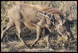 Warthog after an altercation with a porcupine