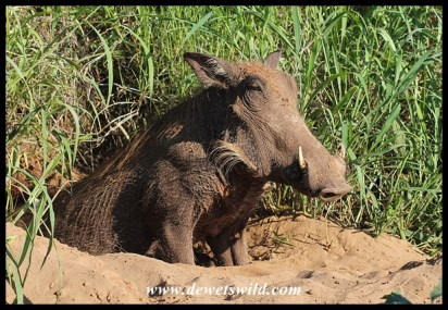 Warthog sow at the mouth to her burrow