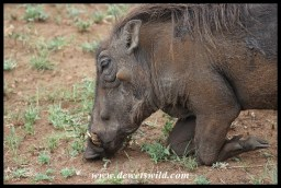 Warthog going down on the knees to graze short grass