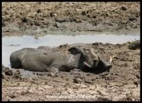 Warthog spa treatment