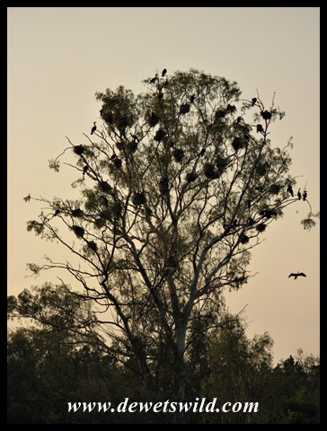 White-breasted Cormorant colony in a large tree