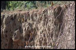 White-fronted Bee-eater nest colony