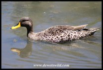 Yellow-billed Duck