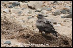 Yellow-billed Kite