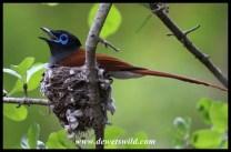 African Paradise Flycatcher (male on nest)