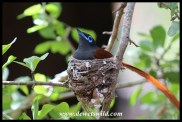 African Paradise Flycatcher (male on nest)