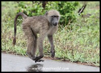 Levitating Chacma baboon youngster