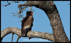 Bateleur (female)
