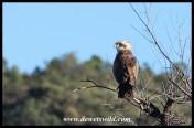 Immature Black-chested Snake Eagle