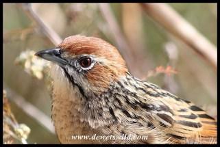 Cape Grassbird