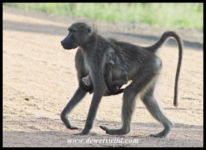 Young Baboons hang from their mother's tummy