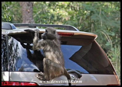 Baboons have learnt that unlocked cars could be an easy source of food