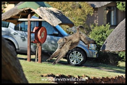 Baboon escaping from a chalet at Thendele Camp