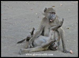 Young Baboons love playing