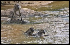 Baboons taking a swim on a hot day