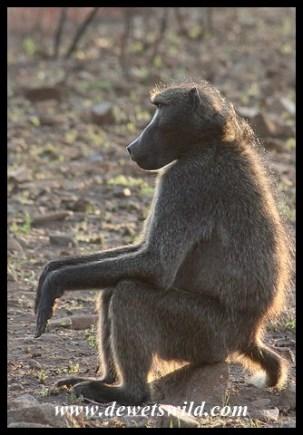 Male Baboon taking a break