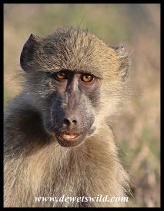 Baboon smile