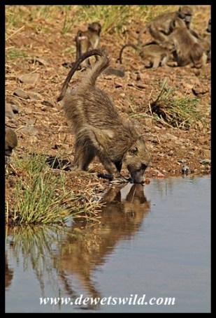Thirsty Baboon