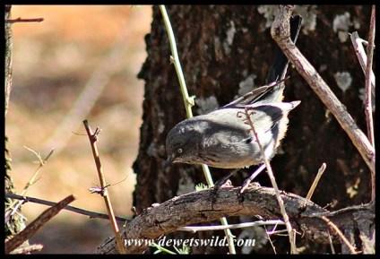 Chestnut-vented Warbler