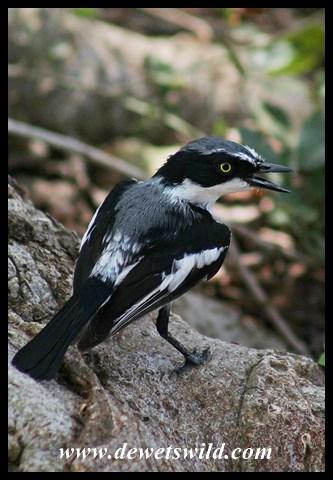 Chinspot Batis (male)