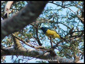 Collared Sunbird (male)