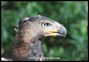 Crowned Eagle (captive)