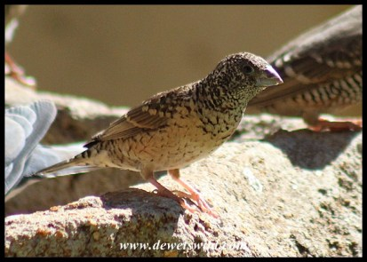 Cut-throat Finch female