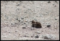 Double-Banded Sandgrouse chick