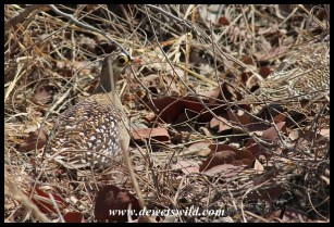 Well camouflaged Double-Banded Sandgrouse