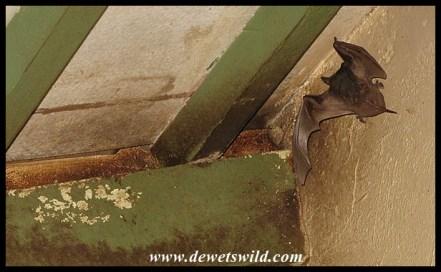 Free-tailed Bat