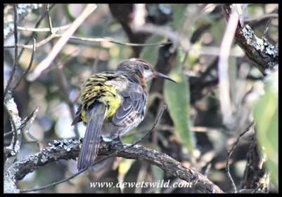 Gurney's Sugarbird