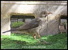 Karoo Thrush (juvenile)