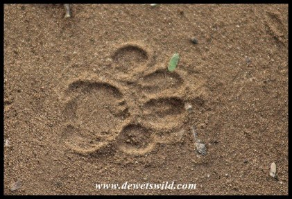 Large Spotted Genet track