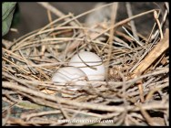 Two Laughing Dove eggs in the nest