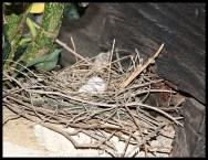 Nest with two Laughing Dove eggs