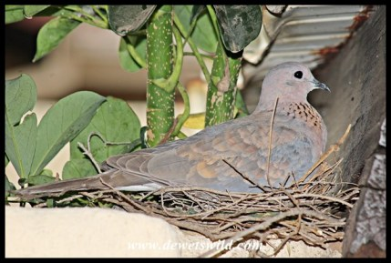 Laughing Dove on nest