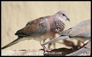 Laughing Dove mating display