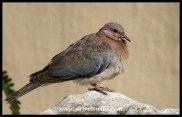 Immature Laughing Dove