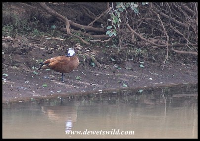 South African Shelduck (female)