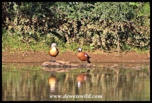 South African Shelduck pair