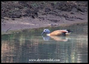 South African Shelduck (male)