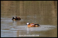 South African Shelduck (pair)