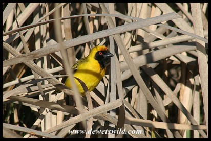 Southern Masked Weaver (photo by Joubert)